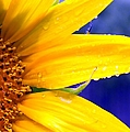 Sunshine Blue by Karen Wiles