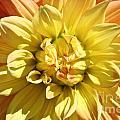 Sunshine Dahlia by Susan Herber