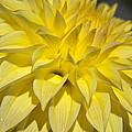 Sunshine Dahlia by Tikvah's Hope