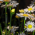Sunshine Daisies Butter Mellow by Tom Gari Gallery-Three-Photography