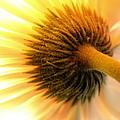 Sunshine Daisy by Krissy Katsimbras