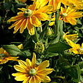 Sunshine Flower by Christiane Schulze Art And Photography