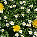 Sunshine In The Daisies by Jan Noblitt
