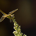 Sunshine On A Landed Dragonfly. by Leyla Ismet