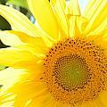Sunflower by Terri Louise