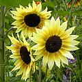 Sunshine Trio by Brigitte Mueller