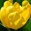 Sunshine Tulip by Maria Urso