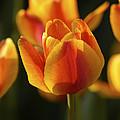 Sunshine Tulips by Nancy De Flon