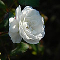 Sunshine White Rose by Nicki Bennett