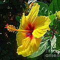 Sunshine Yellow Hibiscus With Red Throat by Catherine Sherman