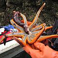 Sunstar Feeds On Sea Cucumber by Rick and Dorla Harness