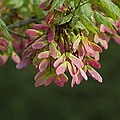 Super Sweet Winged Maple Seeds by Kathy Clark