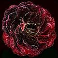 Supreme Rose by GabeZ Art