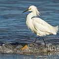 Surf Egret by Alice Cahill