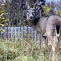 Surprised Deer by Laurel Talabere