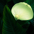 Surreal Peace Lily by Marilyn Hunt