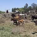 Surveying His Herd by Steve Scheunemann