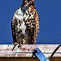 Swainson Hawk by Robert Bales
