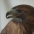 Swainsons Hawk by Scott Bush