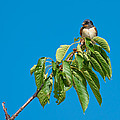 Swallow Sitting On Cherry Tree Branch by Andreas Berthold