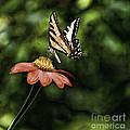 Swallow Tail Butterfly by Bill Baer
