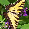 Swallow Tail Butterfly by Deb Buchanan