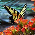 Swallow Tail Butterfly Posing by William Fox