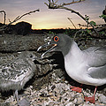 Swallow-tailed Gull And Chick In Pebble by Tui De Roy