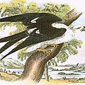 Swallow-tailed Kite by English School