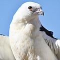 Swallow-tailed Kite by Paulette Thomas
