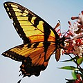 Swallowback Butterfly # 2 by Marcus Dagan