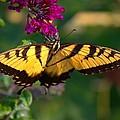 Swallowtail 1 by John Feiser