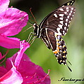 Swallowtail And Azalea - Love by Travis Truelove