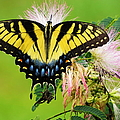 Swallowtail And Mimosa by Phyllis Beiser