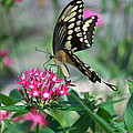 Swallowtail Butterfly 01 by Thomas Woolworth