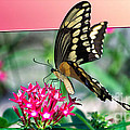Swallowtail Butterfly 04 by Thomas Woolworth