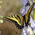Swallowtail Butterfly 1 by Roger Snyder