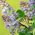 Swallowtail Butterfly by Cheryl Baxter