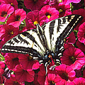 Swallowtail Butterfly Full Span On Fuchsia Flowers by Deprise Brescia