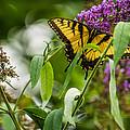 Swallowtail Butterfly by Jon Woodhams