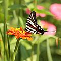 Swallowtail Butterfly by Kim Hojnacki