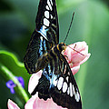 Swallowtail Butterfly by Marilyn Hunt