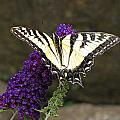 Swallowtail Butterfly by MTBobbins Photography