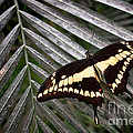 Swallowtail Butterfly by Olivier Le Queinec