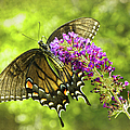 Swallowtail Butterfly by Sandi OReilly