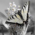 Swallowtail Butterfly by Sharon Woerner