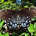 Swallowtail Butterfly by Susan Leggett