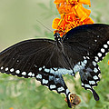Swallowtail Butterfly With Marigolds by Janice Carter