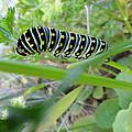 Swallowtail Caterpillar by Mike Breau