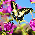 Swallowtail In Flight by Lynn Bauer